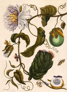 Passion Flower by Maria Sibylla Merian These little pieces of art are fascinating me because of their infinite delicacy and their graphic impact due to their placement on a white background. Botanical Flowers, Tropical Flowers, Botanical Prints, Illustration Botanique Vintage, Illustration Tumblr, Botany Illustration, Technical Illustration, Floral Illustrations, Sibylla Merian
