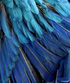 shades of blue in nature with stunning feathers  #blue
