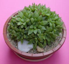 Haworthia turgida var. pallidifolia in 16 cm pot