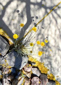 Yellow flower photography, Urban Nature photography,  Southwest photo, Nature, Garden city, Fine art prints, Yellow, tan, beige,