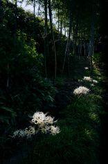 ホワイト Lycoris radiata 満開の竹森林公園 stock photo