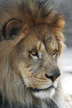 African Lion #8 Judy Whitton