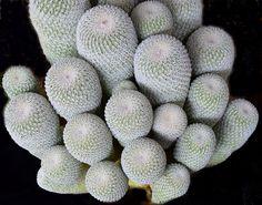 Epithelantha micromeris - Flickr - Photo Sharing!