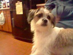 Murphy my family's Jack Russell terrier/Shih Tzu Mix! She is so cute even though she has a boy name!