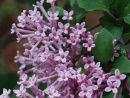 Bloomerang Lilac - New Syringa with 4 months of fragrant flowers Perfect hedge plants.