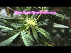Hydroponic Marijuana Grow Tents I really like this system. It is an awesome piece of furniture to have in your apartment. A super grow box can save you hundreds of dollars. Have a peak and be amazed by its sheer brilliance.