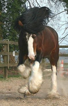 Shire Horse or Clydesdale? All The Pretty Horses, Beautiful Horses, Animals Beautiful, He's Beautiful, Big Horses, Horse Love, Black Horses, Farm Animals, Cute Animals
