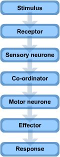 GCSE Biology - Revise the Nervous System - Reflexes. Canterbury Tuition Centre.