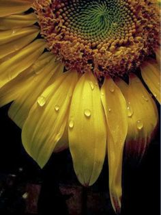 whenever i see rain drops/ dew drops on a flowers I always think they're weeping