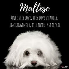 Maltese and yorkie and she loves her mommy. Maltese Poodle, Teacup Maltese, Maltese Dogs, Shih Tzu, Cute Puppies, Dogs And Puppies, Doggies, I Love Dogs, Puppy Love