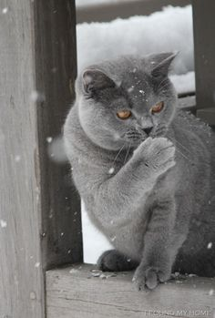 Winter // Is that a Russian Blue or do they all have blue eyes. I know it's a breed, maybe Scottish Fold?