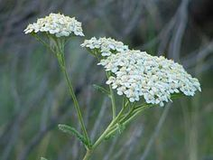 Tip: plant yarrow around edge of herb gardens to encourage essential oil growth in herbs