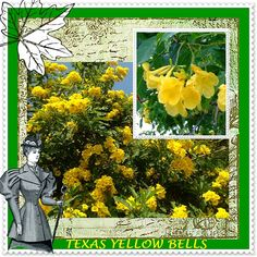 TEXAS YELLOW BELLS  Mass Sun Infused Yellow Texas by VikkiVines