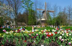 The Netherlands - to see tulips and windmills
