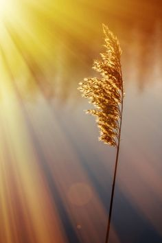 golden light. such a simple grain of wheat can be something so beautiful because god has made it that way and it is our jobs to capture the beauty in that breif moment  and share it.