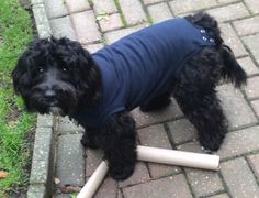"Lovely photo from a customer called Michele whose dog Koko (the gorgeous Cockapoo) wore his Medical Pet Shirt http://www.dfordog.co.uk/medical-pet-shirts.html after his recent neutering op. The op was at 11am and here he is at 3pm ""happy as a lark with his Pet shirt on"" says Michele. ""It would have been a very different story if he'd had to wear a cone so a big thank you from me, and an even bigger thank you from Koko!"""