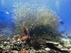 Underwater photo of a school of fish from a scuba dive at Koh Bida Nok in Thailand Phuket Travel, Thailand Travel Guide, Bangkok Travel, Visit Thailand, Phuket Thailand, Underwater Photos, Underwater Photography, Film Photography, Street Photography