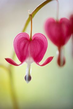 Bleeding heart...so lovely!