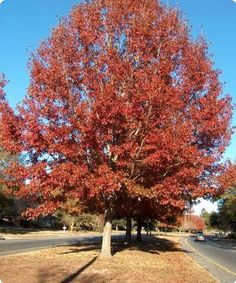 http://www.treeseeds.com/northern-red-oak-tree-seeds