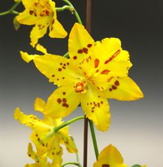Odontocidium Mayfair 'RCW' FCC AOS - The award winning inter-generic orchid that produces bright yellow flowers that glow..
