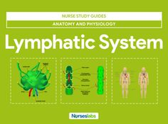 The lymphatic system includes lymph lymphocytes lymphatic vessels lymph nodes tonsils the spleen and the thymus gland. Respiratory System Anatomy, Nervous System Anatomy, Endocrine System, Lymphatic System, Lymph Massage, Nursing Mnemonics, Human Anatomy And Physiology, Nursing Notes, Psychology
