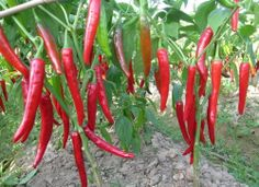 Giant Red Ambizu Vegetables Capsicum Seeds Ten Giant Red New Spices Spicy Chili Pepper Seeds Plants up to 50 Pcs Seeds Long >>> Check out the image by visiting the link. Spicy Chili, Red Chilli, Pepper Plants, Pepper Seeds, Organic Herbs, Stuffed Hot Peppers, Outdoor Gardens, Curry