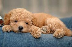 Mini poodle - too cute!