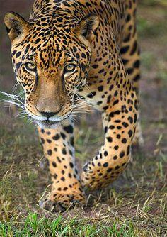 Wild Jaguar, SouthWild Jaguar Camp, Pantanal, Central Western Brazil.  Photo: SouthWild Jaguar Camp. Luxury Amazon & South American Wildlife Tours.