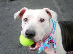 """ROBIN - A1033757 - - Manhattan  TO BE DESTROYED  05/03/15 * AVAILABLE FOR PUBLIC ADOPTION * A volunteer writes: Robyn is the dog who will make your day…I had so much fun with her yesterday ! She was waiting patiently in her arrival kennel, all eyes on me. Her neck and underbelly are raw and I was wondering how she would accept my leash but she did without a whisper. Her first """"job"""" was to relieve herself, then, she spotted a ball in a corner of the pen and"""