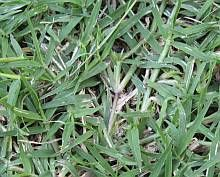 Killing Bermuda Grass is a long process. To save a fescue lawn: make it healthy & spray the correct bermuda grass killer. Start right with a series of articles to explain.
