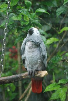 Cute Congo the African Grey enjoying a rainy shower