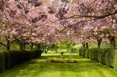 The Cherry Orchard in full blossom Koi Carp, Listed Building, Dreams Do Come True, Unique Wedding Venues, Civil Ceremony, Grand Entrance, Park Service, Picture Design, Acre