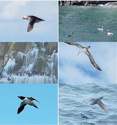 Si cogéis el ferry que va hacía las Islas Orcadas podréis ver a los frairecillos, araos comunes, colonias de gaviotas con araos, alcatraces atlánticos, alcas comunes y cormoranes grandes.