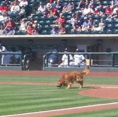 Jake - the diamond dog. Columbus clippers