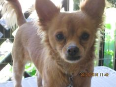 Meet Tater  6LBS, a Petfinder adoptable Chihuahua Dog | South Elgin, IL | Tater is a little 6 lb. Pom/ Chihuahua who is super friendly, crate trained and just a sweet, sweet...