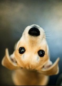 SoulPup's Cute Pet Pic of the Day: Look deeep into my adorable puppy dog eyes! #pets:                                                                                                                                                                                 More