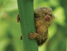 "This teeny tiny pygmy marmoset could unravel the mysterious origins of Homo floresiensis, the teeny tiny ""hobbit"" human relative."
