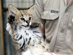 One of three serval kittens at Adelaide Zoo in Australia