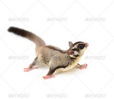Realistic Graphic DOWNLOAD (.ai, .psd) :: http://sourcecodes.pro/pinterest-itmid-1006656138i.html ... Sugarglider ...  Flying Squirrel, Momonga, Sugarglider, animal, animals in the wild, flying, isolated, mammal, squirrel, sugar glider, white background  ... Realistic Photo Graphic Print Obejct Business Web Elements Illustration Design Templates ... DOWNLOAD :: http://sourcecodes.pro/pinterest-itmid-1006656138i.html