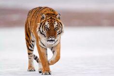 Siberian tiger (Panthera tigris altaica) walking on the snow Where Do Tigers Live, Primates, Mammals, Javan Tiger, Tiger Habitat, Female Tiger, Tiger Facts, Big Tiger, Tiger Skin