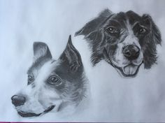 Wilfie and Lily - male and female Collies