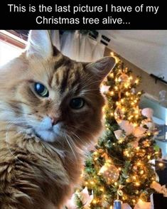 Time For Some Christmas Memes Of Pets Trying To Be Part Of The Festive Spirit - World's largest collection of cat memes and other animals Funny Animal Memes, Cute Funny Animals, Funny Animal Pictures, Funny Cute, Funny Memes, Memes Humor, Funny Pics, Cute Cat Memes, Pet Memes