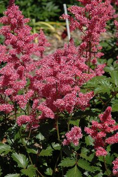 Click to view full-size photo of Rheinland Astilbe (Astilbe japonica 'Rheinland') at Woldhuis Farms Sunrise Greenhouses