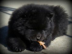 Chow chow puppy-looks like my Chang when he was a puppy!