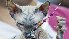 Gato da raça Sphynx brinca no Concurso Internacional em Bucareste, na Romênia.Foto: Vadim Ghirda/AP