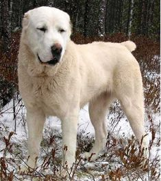 Central Asian Shepherd Dog Breeds