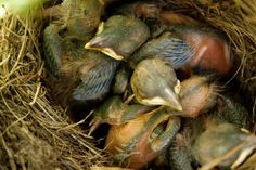 jonge merels op nest 3