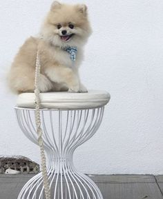 Iggy the #Pomeranian