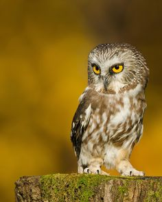 Little owl - Northern Saw-whet Owl / Petite nyctale  UQROP