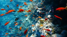 School of tropical fish in a colorful coral reef with water surface in background, Red sea, Egypt. Beautiful Tropical Fish, Beautiful Fish, Tropical Fish Pictures, Fish Gif, Fish Tank Themes, Fish Background, Ocean Video, Ocean Underwater, Ocean Backgrounds